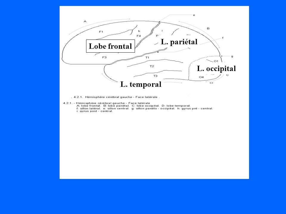 Lobe frontal L. pariétal L. temporal L. occipital