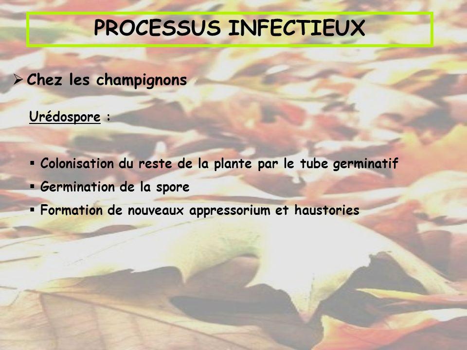 PROCESSUS INFECTIEUX Chez les champignons Urédospore : Colonisation du reste de la plante par le tube germinatif Germination de la spore Formation de