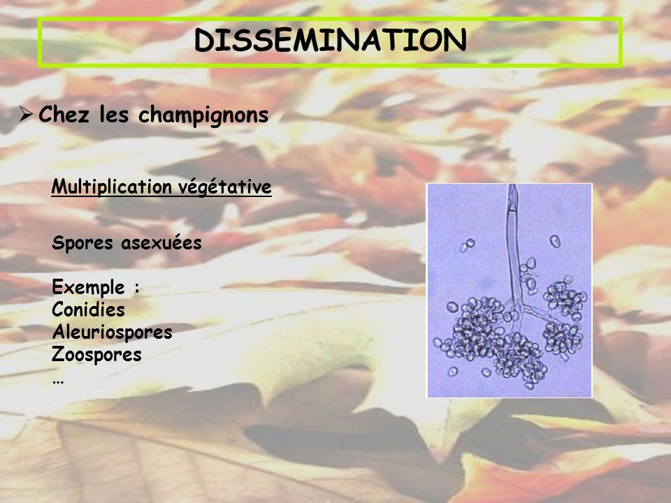 DISSEMINATION Multiplication végétative Spores asexuées Exemple : Conidies Aleuriospores Zoospores … Chez les champignons