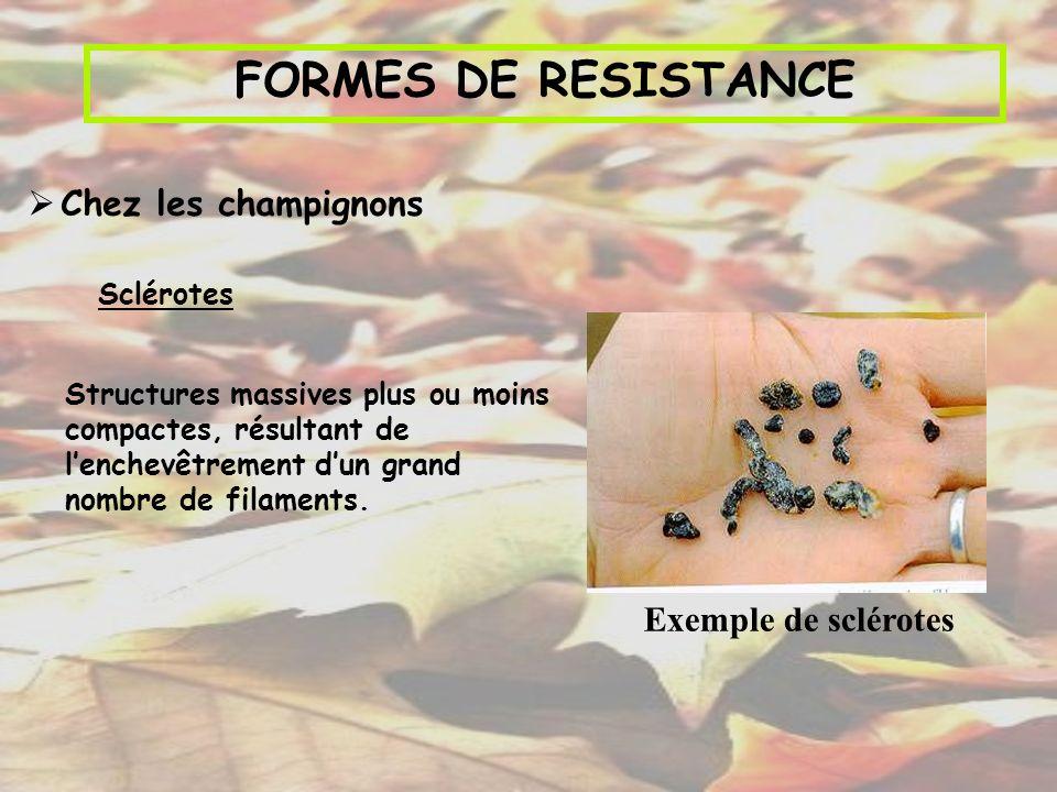 FORMES DE RESISTANCE Chez les champignons Sclérotes Exemple de sclérotes Structures massives plus ou moins compactes, résultant de lenchevêtrement dun