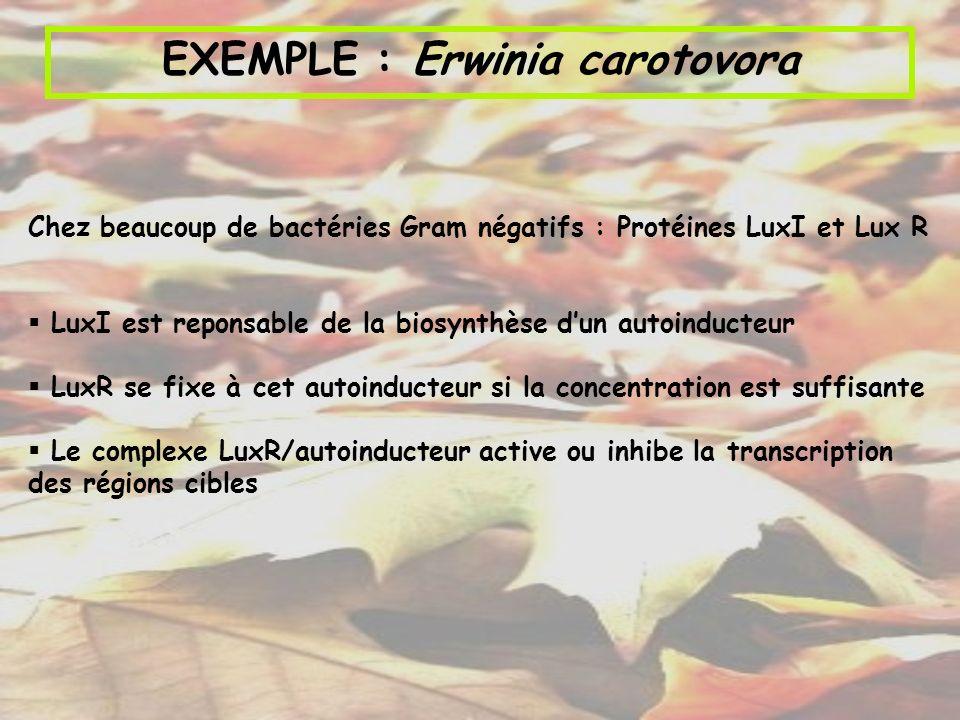 EXEMPLE : Erwinia carotovora Chez beaucoup de bactéries Gram négatifs : Protéines LuxI et Lux R LuxI est reponsable de la biosynthèse dun autoinducteu