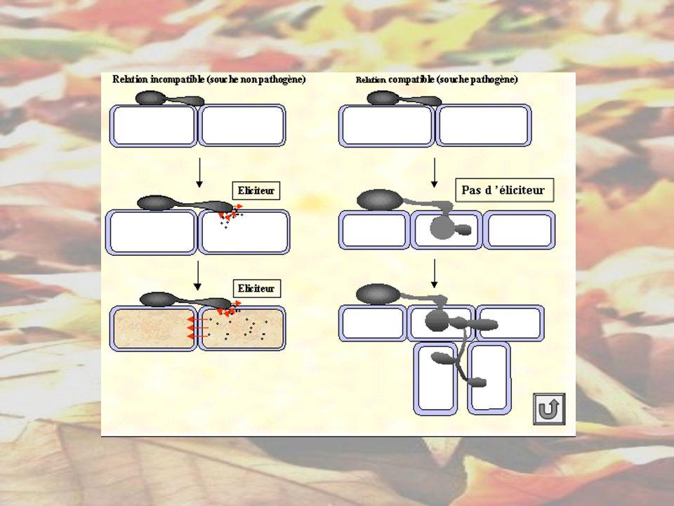 Reproduction sexuée DISSEMINATION Spores sexuées Exemple : Asques Basides Oospores … Chez les champignons