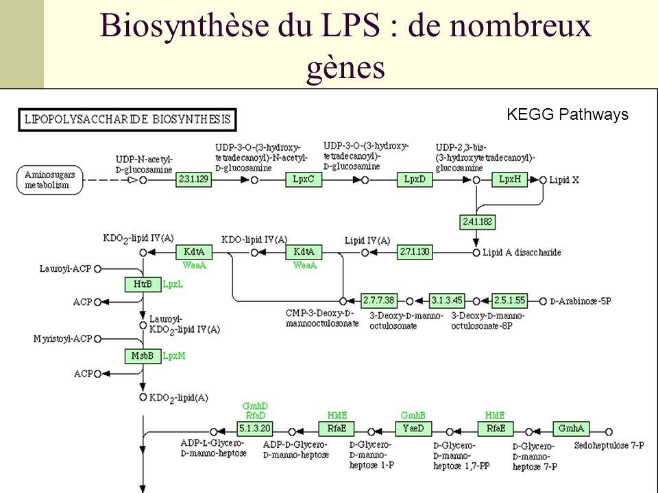 Biosynthèse du LPS : de nombreux gènes KEGG Pathways