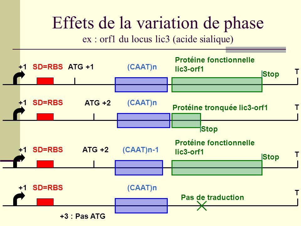 ChoP et virulence ChoP + : meilleure capacité dinfection des voies respiratoires adhésion aux cellules épithéliales MAIS : sensibilité accrue au complément C-Response Protein (humaine), se fixe à la phosphocholine et active la voie classique du complément Donc « shift » ChoP + / ChoP - durant linfection Au début, ChoP + = adhésion Ensuite, dissémination = ChoP - sélectionnés pour résistance au complément (sérum)