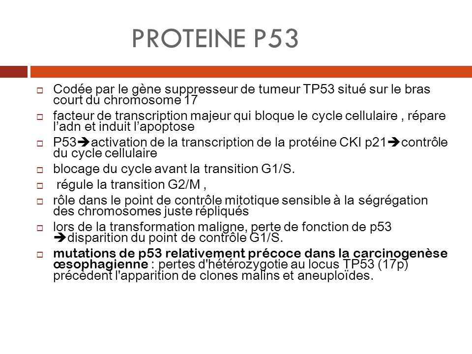 PROTEINE P53 Codée par le gène suppresseur de tumeur TP53 situé sur le bras court du chromosome 17 facteur de transcription majeur qui bloque le cycle
