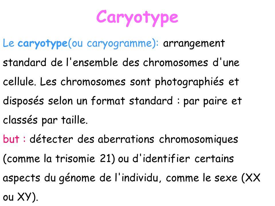 Caryotype Le caryotype(ou caryogramme): arrangement standard de l'ensemble des chromosomes d'une cellule. Les chromosomes sont photographiés et dispos