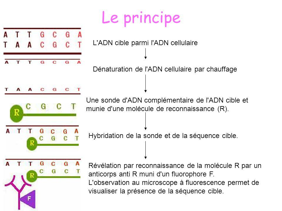 La révélation système biotine-avidine: reconnaître les sondes par des anticorps flanqués de sites moléculaires fluorescent, M : brin d ADN matrice dénaturé, H : séquence sonde hybridée.