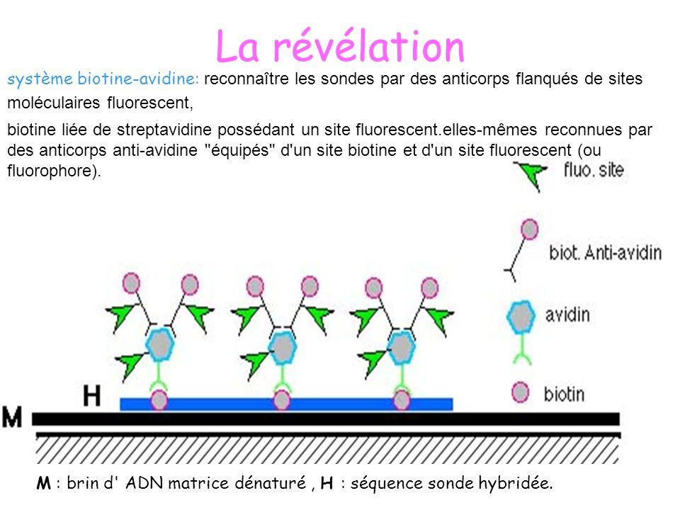 La révélation système biotine-avidine: reconnaître les sondes par des anticorps flanqués de sites moléculaires fluorescent, M : brin d' ADN matrice dé