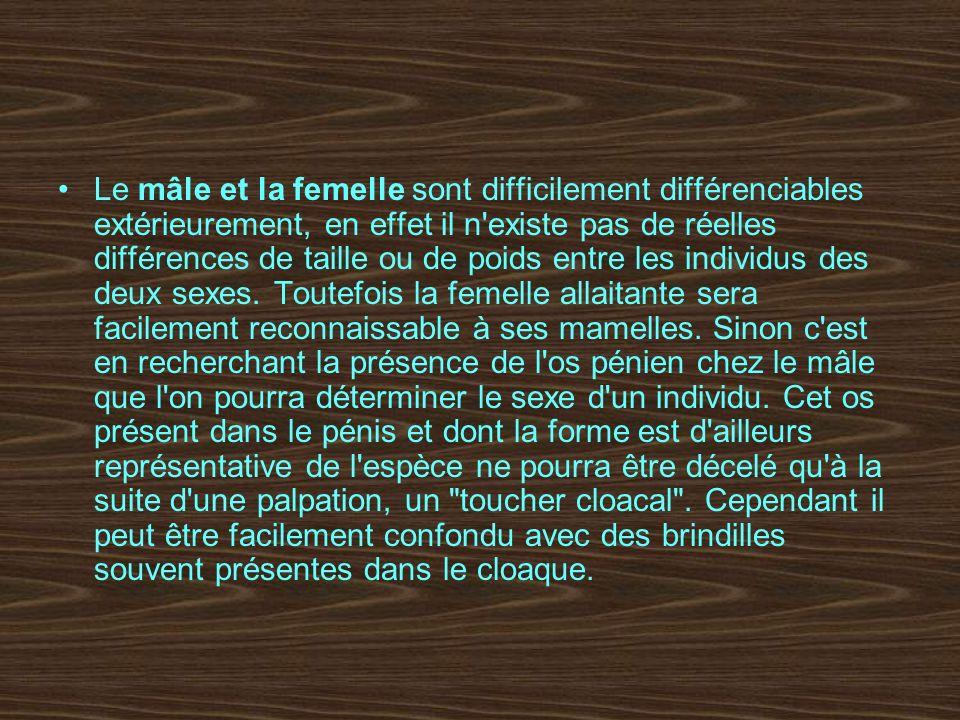 Le mâle et la femelle sont difficilement différenciables extérieurement, en effet il n'existe pas de réelles différences de taille ou de poids entre l