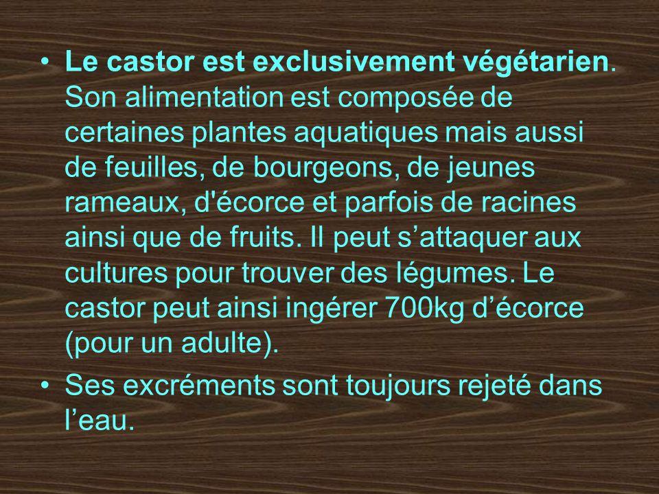 Le castor est exclusivement végétarien. Son alimentation est composée de certaines plantes aquatiques mais aussi de feuilles, de bourgeons, de jeunes