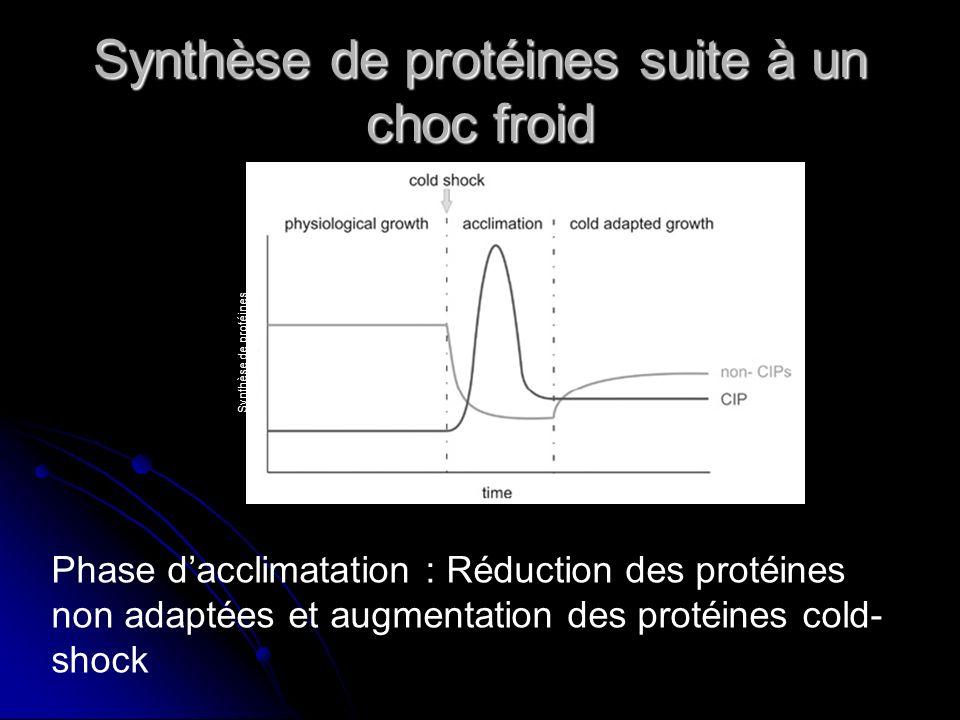 Les cold-shock protéines : exemple de CspA chez Escherichia coli A température optimale: A température optimale: Niveau constitutif Niveau constitutif Rétrocontrôle négatif Rétrocontrôle négatif Dégradation de lARNm (1/2 vie de 12 secondes) Dégradation de lARNm (1/2 vie de 12 secondes) Rôle de la « cold box » Rôle de la « cold box »