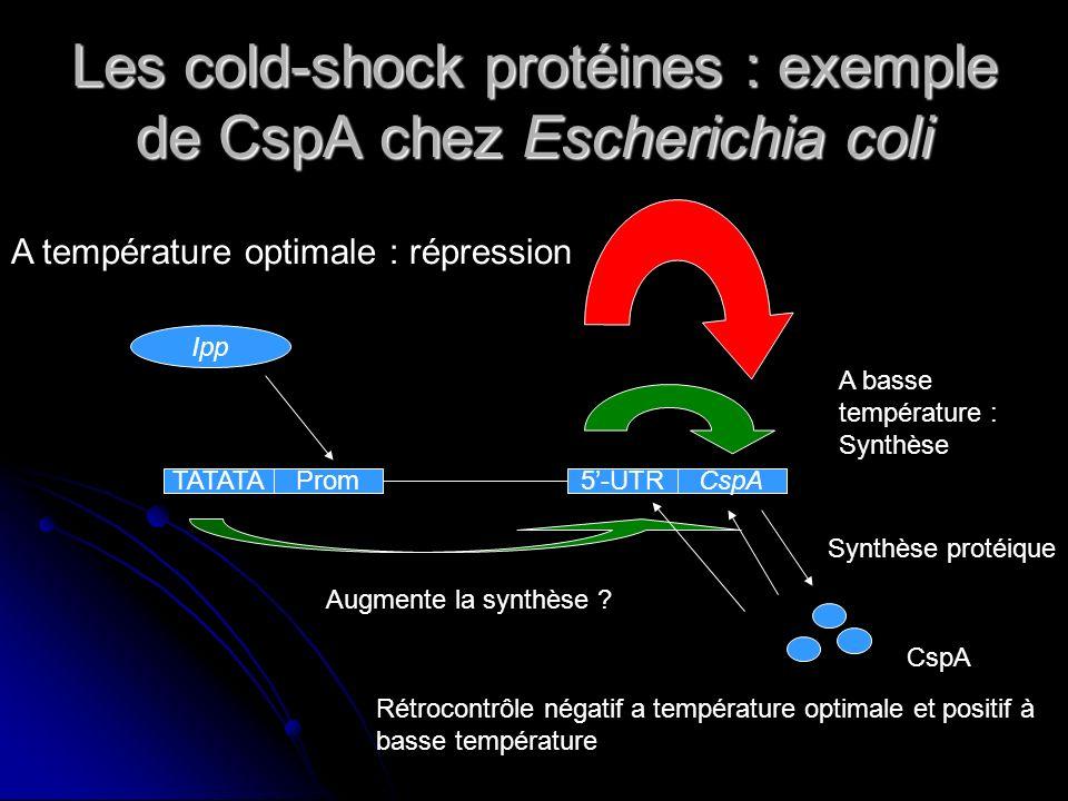 Les cold-shock protéines : exemple chez Escherichia coli LARNm de CspA ne nécessite pas de ribosomes adaptés au froid pour être traduit (boite DB) Hausse de la quantité de CspA dans la bactérie Hausse de la quantité de CspA dans la bactérie
