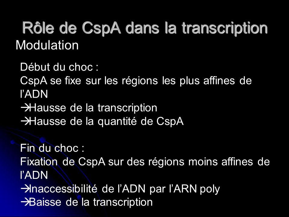 Rôle de CspA dans la traduction Niveau de CspA faible ou moyen : Niveau de CspA faible ou moyen : Hausse de la traduction par fixation sur lARNm Hausse de la traduction par fixation sur lARNm Niveau de CspA fort : Niveau de CspA fort : Baisse de la traduction (trop de CspA sur lARNm) Baisse de la traduction (trop de CspA sur lARNm) Arrêt de la traduction Arrêt de la traduction