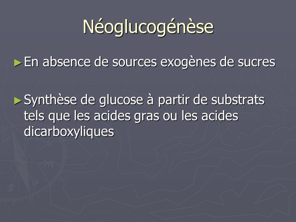 Néoglucogénèse En absence de sources exogènes de sucres En absence de sources exogènes de sucres Synthèse de glucose à partir de substrats tels que le