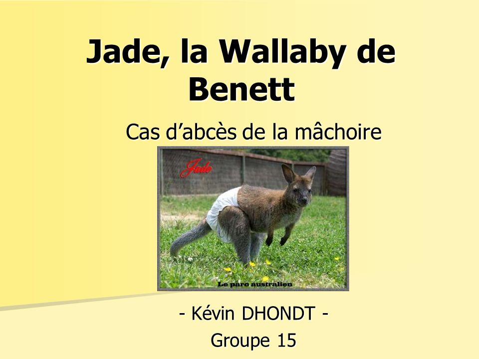 Cas dabcès de la mâchoire - Kévin DHONDT - Groupe 15 Jade, la Wallaby de Benett