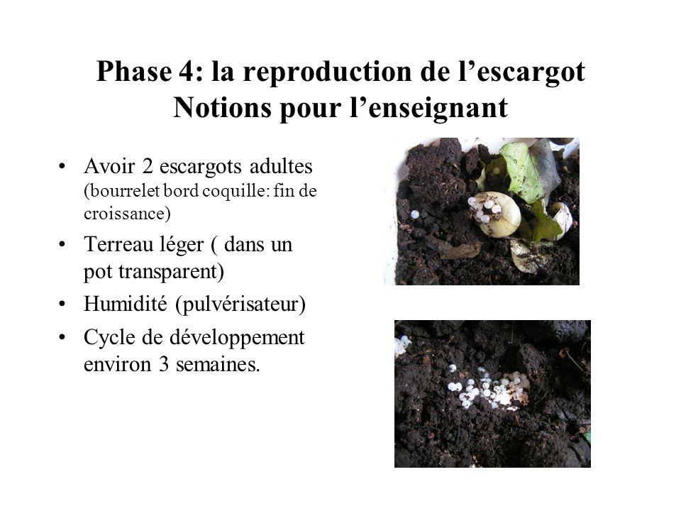 Phase 4: la reproduction de lescargot Notions pour lenseignant Avoir 2 escargots adultes (bourrelet bord coquille: fin de croissance) Terreau léger (