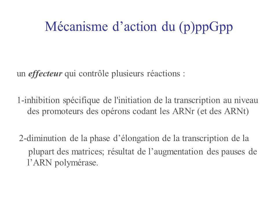 Mécanisme daction du (p)ppGpp un effecteur qui contrôle plusieurs réactions : 1-inhibition spécifique de l'initiation de la transcription au niveau de