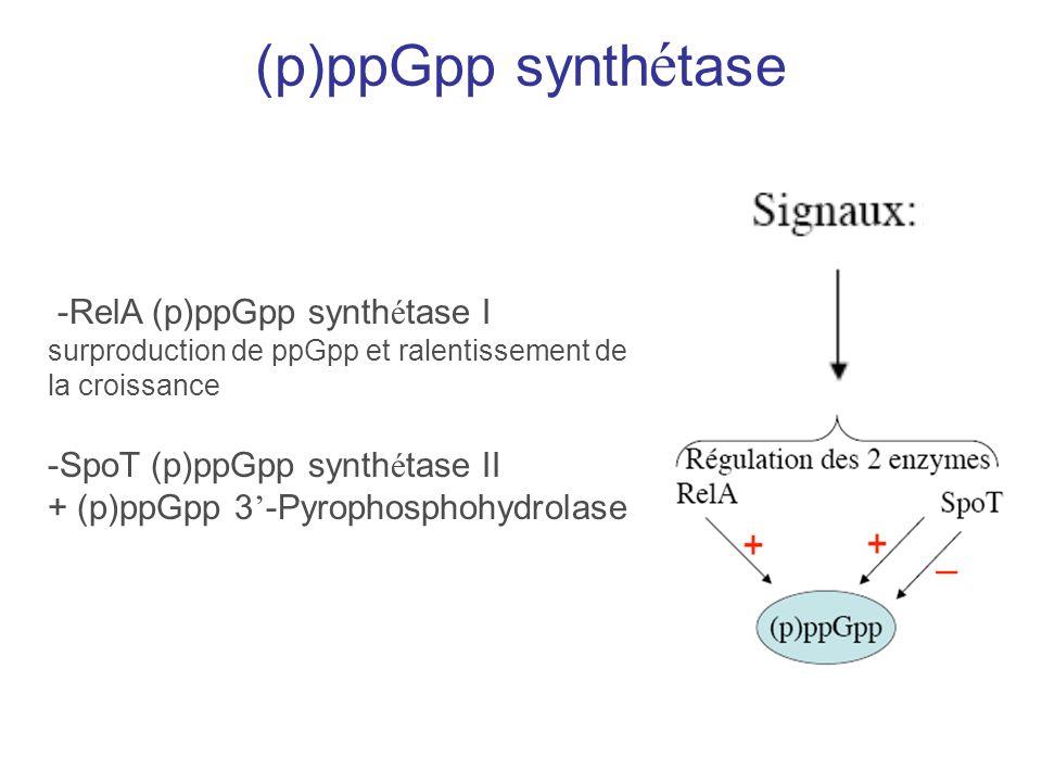 (p)ppGpp synth é tase -RelA (p)ppGpp synth é tase I surproduction de ppGpp et ralentissement de la croissance -SpoT (p)ppGpp synth é tase II + (p)ppGp
