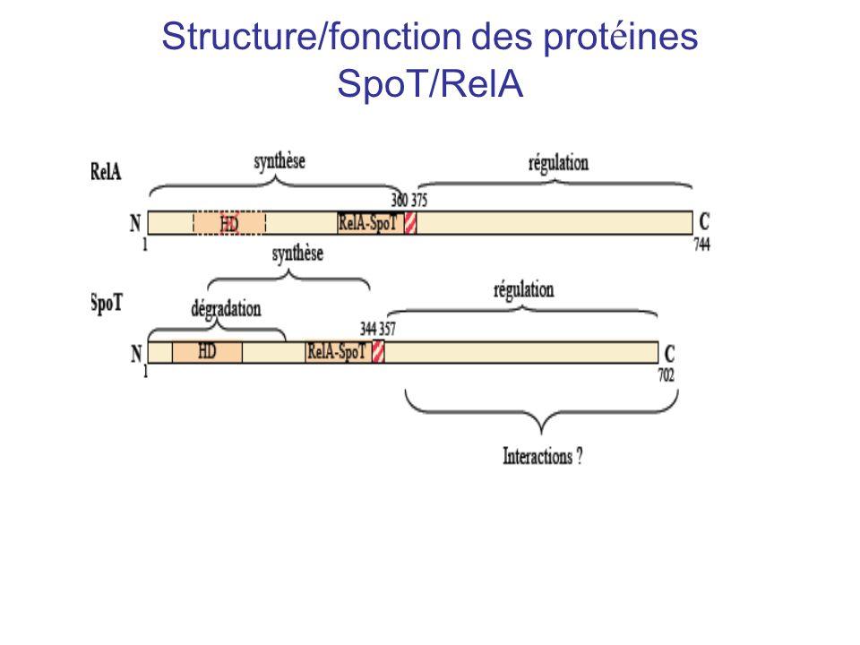 Structure/fonction des prot é ines SpoT/RelA