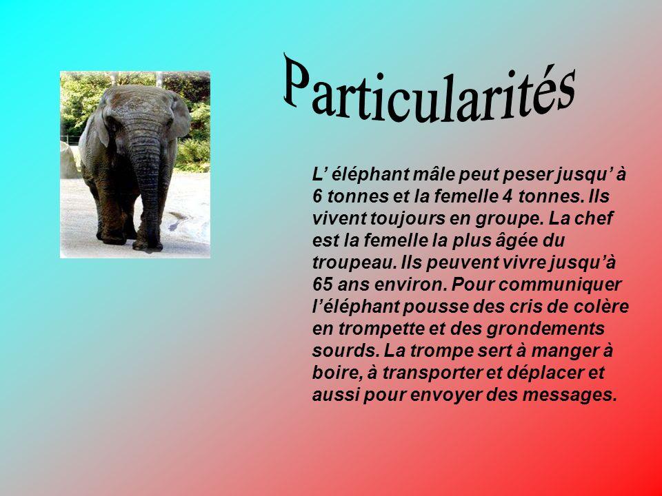 L éléphant mâle peut peser jusqu à 6 tonnes et la femelle 4 tonnes. Ils vivent toujours en groupe. La chef est la femelle la plus âgée du troupeau. Il