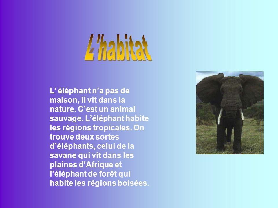 Léléphant vient de lAfrique du sud du Sahara.