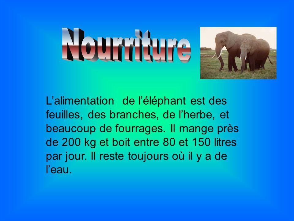 Lalimentation de léléphant est des feuilles, des branches, de lherbe, et beaucoup de fourrages. Il mange près de 200 kg et boit entre 80 et 150 litres