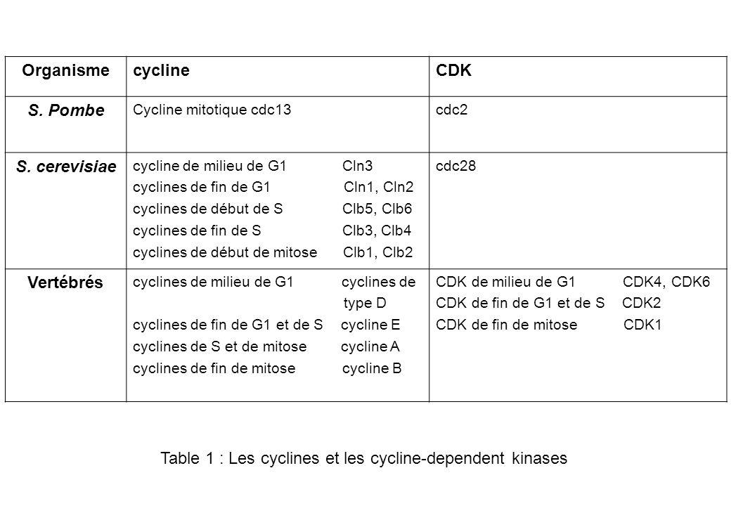 G1 Cycline D / Cdk4 et Cycline D / Cdk 6 Phosphorylation et inactivation de la protéine Rb, ce qui libère les facteurs de transcription E2F qui contrôlent lexpression de gènes indispensables à la transition G1/S et à la progression de la phase S (ex : synthèse des cyclines E et A).