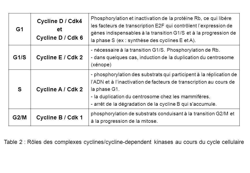 G1 Cycline D / Cdk4 et Cycline D / Cdk 6 Phosphorylation et inactivation de la protéine Rb, ce qui libère les facteurs de transcription E2F qui contrô