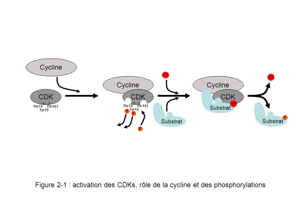 Cycline CDK Cycline CDK ATP Cycline CDK ADP Substrat ATP Substrat P P Tyr15 P P Figure 2-1 : activation des CDKs, rôle de la cycline et des phosphoryl