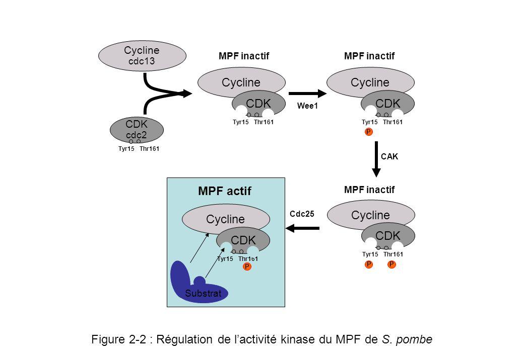 Figure 2-3 : activation des M-CDKs, linterrupteur moléculaire Wee1/cdc25 M-CDK actif M-CDK inactif P Phosphatase Cdc25 active Phosphatase Cdc25 inactive Kinase Wee1 active Kinase Wee1 inactive 2 33 PP Polo 1 1 2 3 En fin de G2, Polo phosphoryle Cdc25 qui se trouve dans le noyau Cdc25 phosphoryle et active la CDK de phase M La M-CDK activée phosphoryle et active son activateur Cdc25 et phosphoryle et inhibe son inhibiteur Wee1