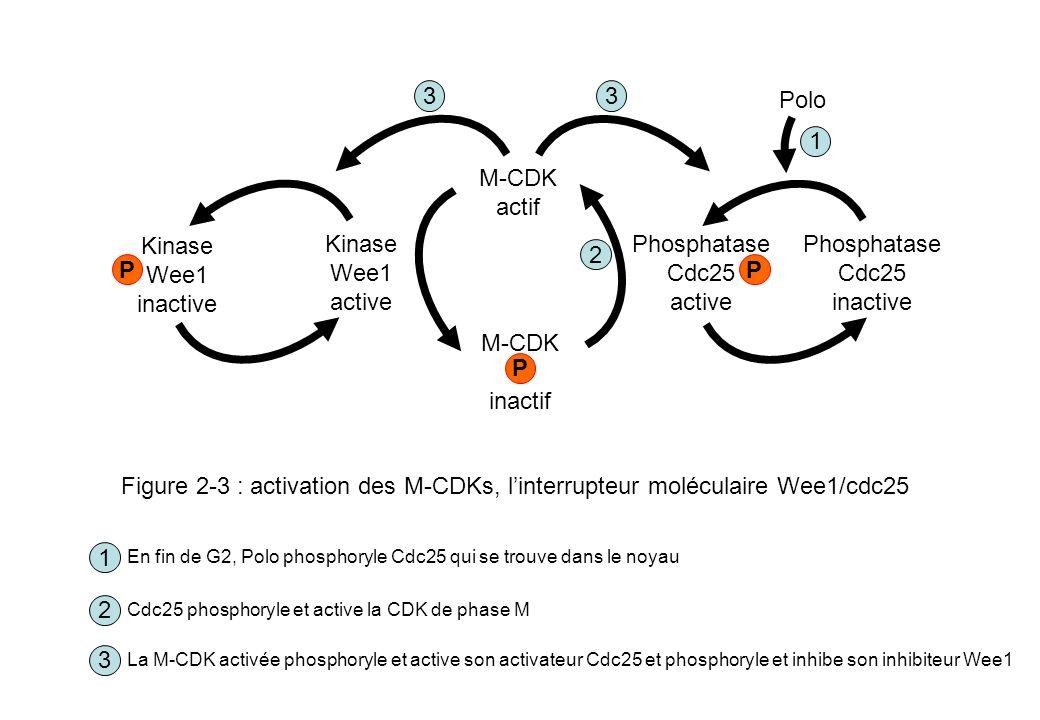 Cycline mitotique CDK Cycline mitotique CDK Métaphase Fin danaphase Télophase Interphase Prophase CDK MPF Taux de cycline élevés Activité MPF élevée Synthèse de cyclines mitotiques Taux de cycline faibles Activité MPF faible Cycline mitotique Ub APC P Protéasome APC Cdh1 Cdc14 Complexes Cycline-CDK de G1 Figure 2-4 : importance de la dégradation protéolytique des cyclines mitotique pour la sortie de mitose