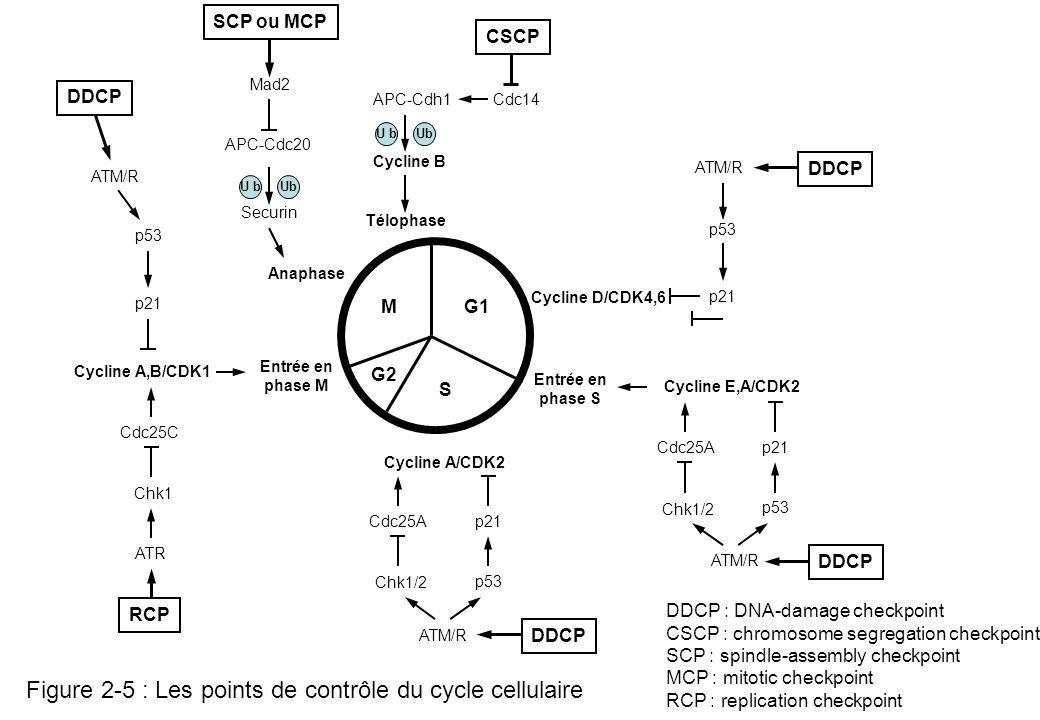 Figure 2-5 : Les points de contrôle du cycle cellulaire G2 MG1 S Entrée en phase M Anaphase Télophase Entrée en phase S Cycline A/CDK2 Cycline D/CDK4,