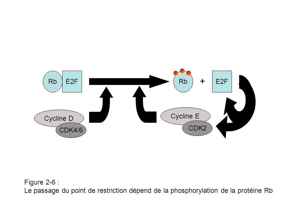 Figure 2-7 : Le cycle du centrosome G2 M G1 S R R : point de restriction Désorientation (splitting) Elongation Disjonction Séparation Elongation Maturation