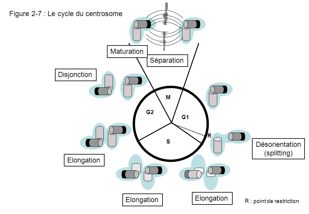 Figure 2-7 : Le cycle du centrosome G2 M G1 S R R : point de restriction Désorientation (splitting) Elongation Disjonction Séparation Elongation Matur