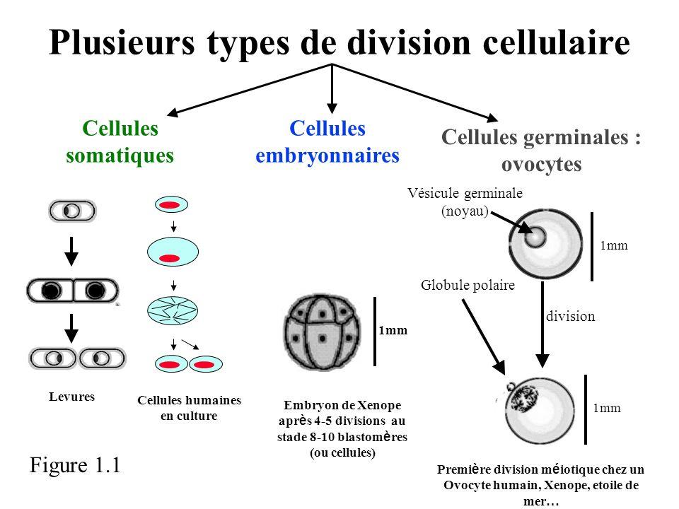 Plusieurs types de division cellulaire Cellules somatiques Cellules humaines en culture Embryon de Xenope apr è s 4-5 divisions au stade 8-10 blastom