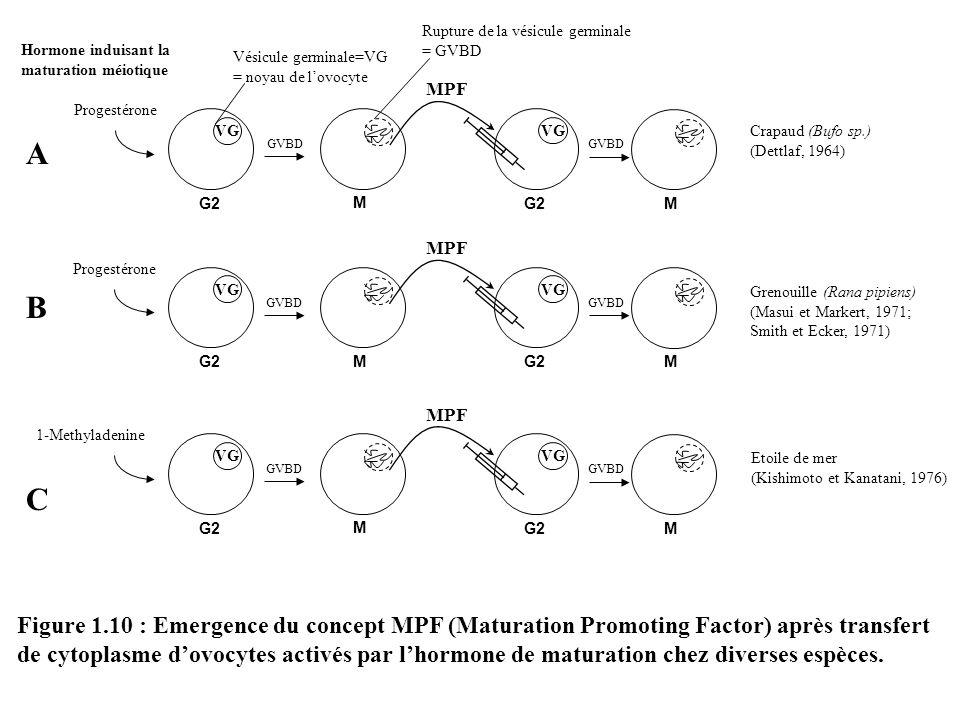 GVBD Progestérone VG G2 M Figure 1.10 : Emergence du concept MPF (Maturation Promoting Factor) après transfert de cytoplasme dovocytes activés par lho
