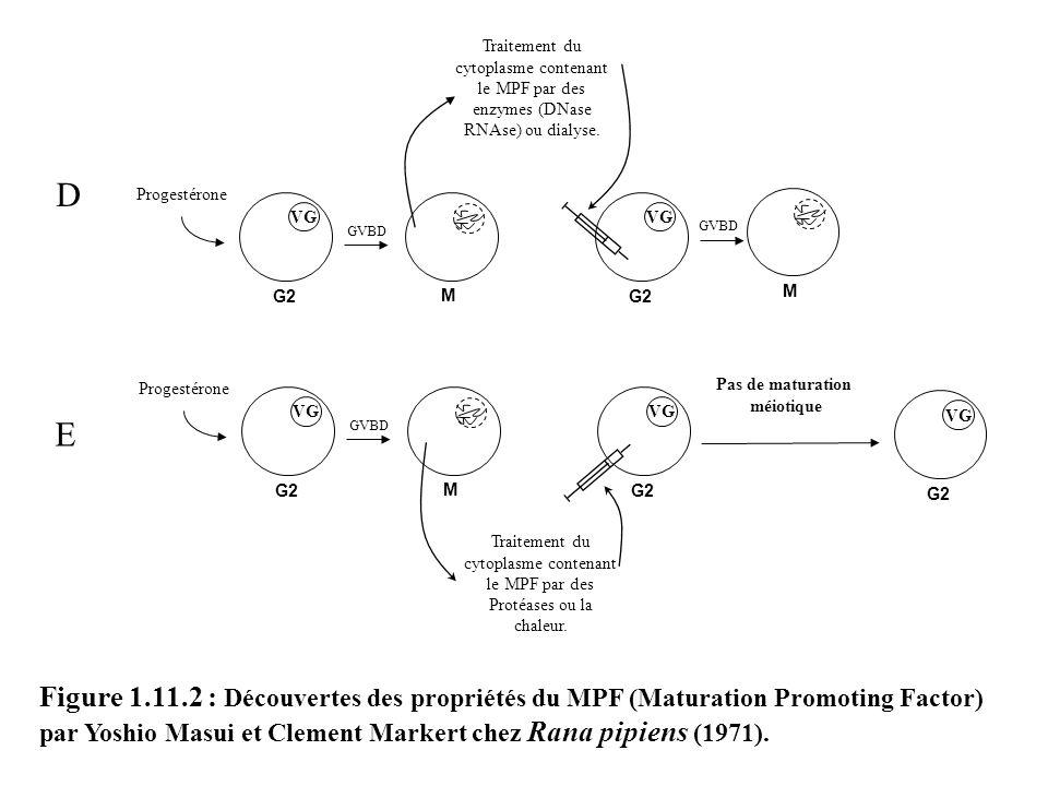 GVBD M Figure 1.11.2 : Découvertes des propriétés du MPF (Maturation Promoting Factor) par Yoshio Masui et Clement Markert chez Rana pipiens (1971). D