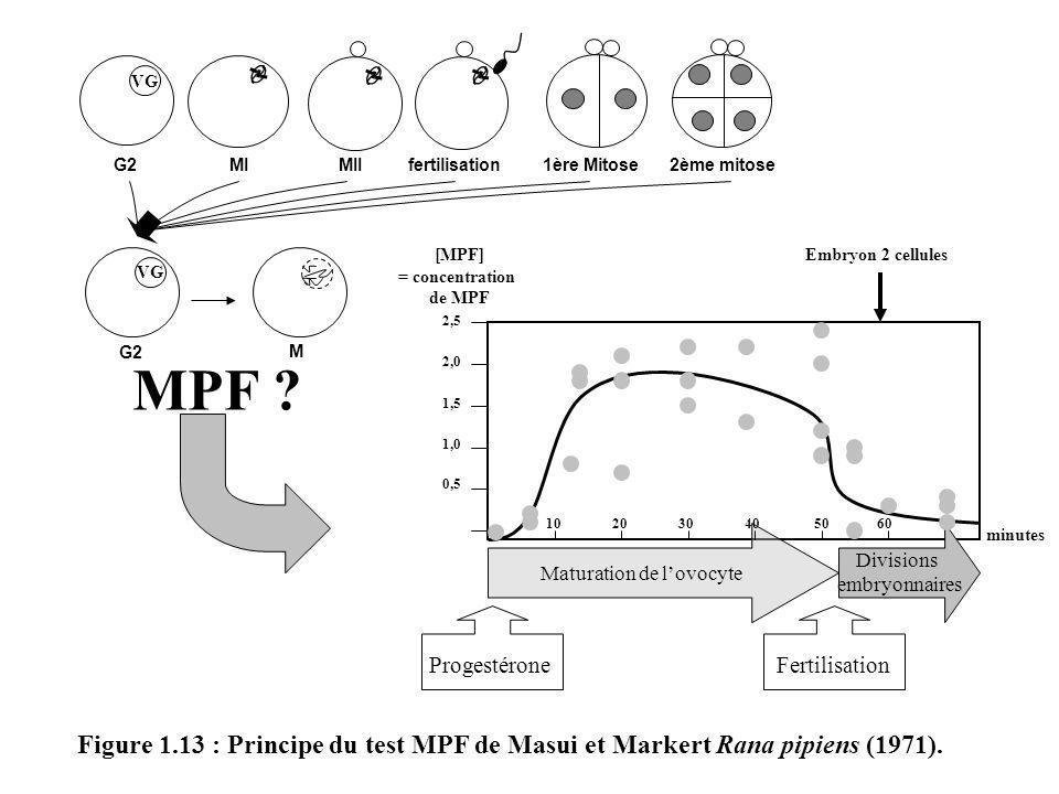 Figure 1.13 : Principe du test MPF de Masui et Markert Rana pipiens (1971). G2 MI MII fertilisation 1ère Mitose 2ème mitose VG MPF ? VG G2 M [MPF] = c