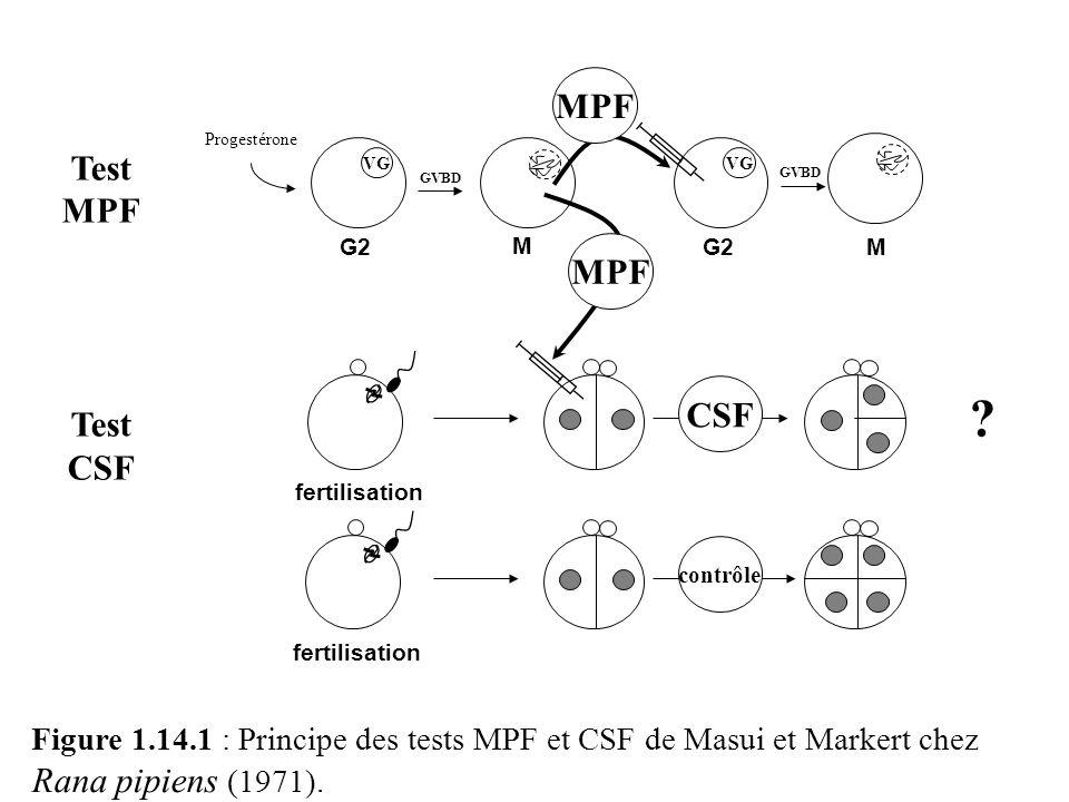 Figure 1.14.1 : Principe des tests MPF et CSF de Masui et Markert chez Rana pipiens (1971). GVBD M Progestérone VG G2 M VG G2 Test MPF Test CSF fertil