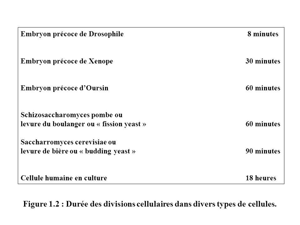 Embryon précoce de Drosophile 8 minutes Embryon précoce de Xenope 30 minutes Embryon précoce dOursin60 minutes Schizosaccharomyces pombe ou levure du