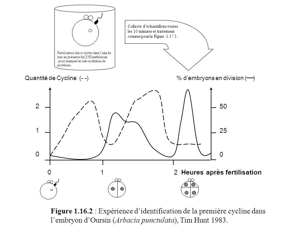 Figure 1.16.2 : Expérience didentification de la première cycline dans lembryon dOursin (Arbacia punctulata), Tim Hunt 1983. Fertilisation des ovocyte