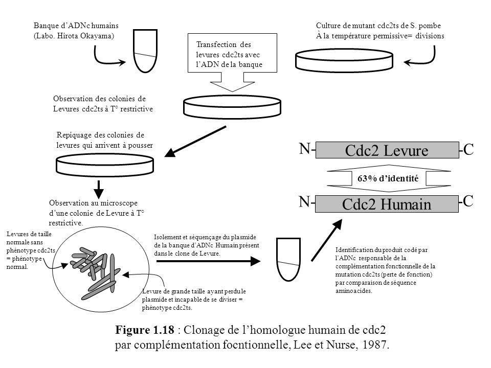 Figure 1.18 : Clonage de lhomologue humain de cdc2 par complémentation focntionnelle, Lee et Nurse, 1987. Banque dADNc humains (Labo. Hirota Okayama)