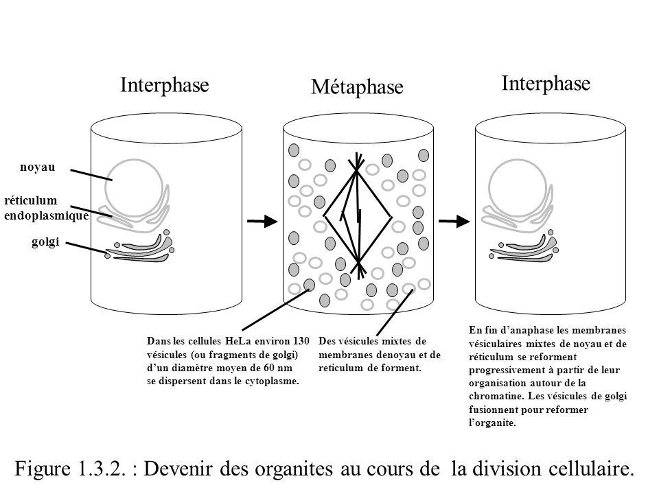 Interphase Métaphase Interphase noyau réticulum endoplasmique golgi Dans les cellules HeLa environ 130 vésicules (ou fragments de golgi) dun diamètre