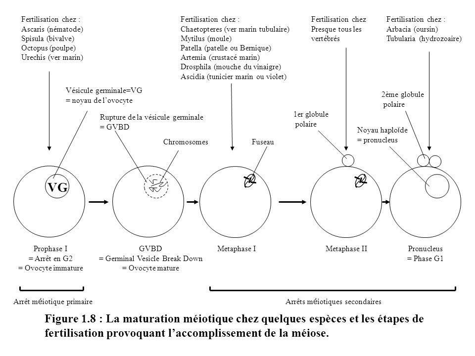 Figure 1.8 : La maturation méiotique chez quelques espèces et les étapes de fertilisation provoquant laccomplissement de la méiose. VG Fertilisation c