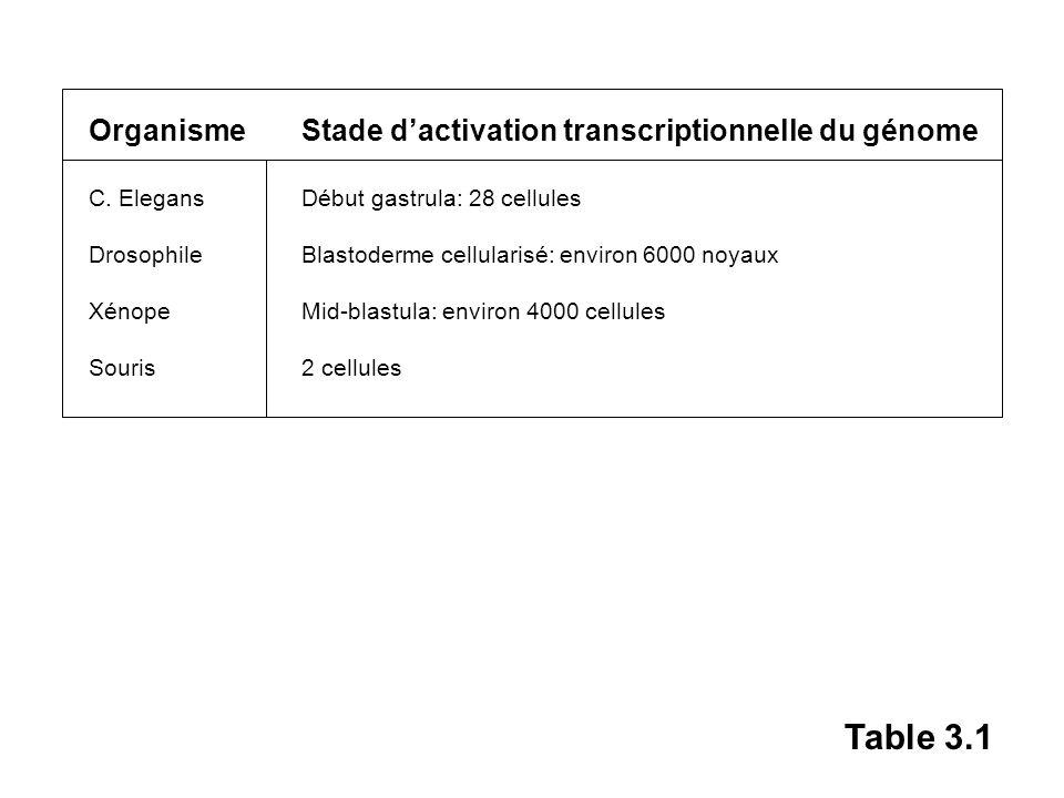 Organisme Stade dactivation transcriptionnelle du génome C. ElegansDébut gastrula: 28 cellules DrosophileBlastoderme cellularisé: environ 6000 noyaux