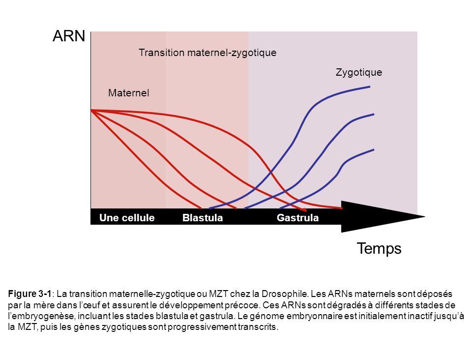 Une celluleBlastulaGastrula ARN Temps Maternel Transition maternel-zygotique Zygotique Figure 3-1: La transition maternelle-zygotique ou MZT chez la D
