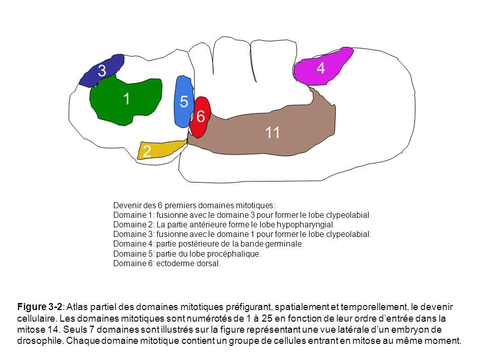 1 2 3 4 5 6 11 Devenir des 6 premiers domaines mitotiques: Domaine 1: fusionne avec le domaine 3 pour former le lobe clypeolabial. Domaine 2: La parti