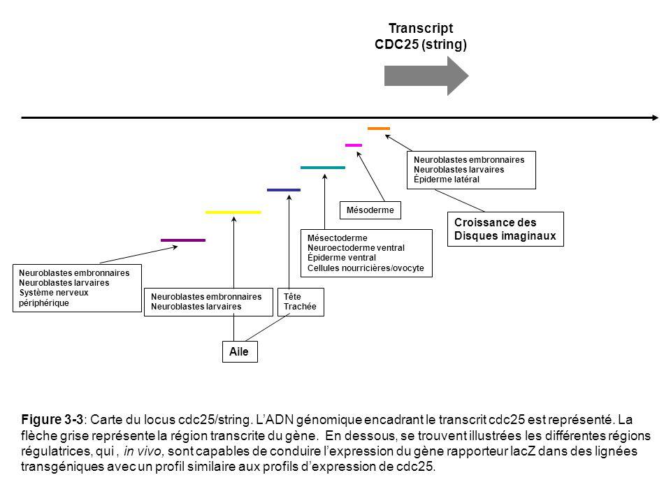 Transcript CDC25 (string) Neuroblastes embronnaires Neuroblastes larvaires Épiderme latéral Croissance des Disques imaginaux Mésoderme Neuroblastes embronnaires Neuroblastes larvaires Mésectoderme Neuroectoderme ventral Épiderme ventral Cellules nourricières/ovocyte Aile Tête Trachée Neuroblastes embronnaires Neuroblastes larvaires Système nerveux périphérique Figure 3-3: Carte du locus cdc25/string.