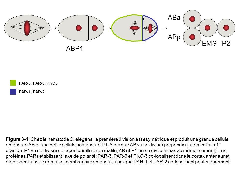ABP1 EMS P2 ABa ABp PAR-3, PAR-6, PKC3 PAR-1, PAR-2 Figure 3-4: Chez le nématode C. elegans, la première division est asymétrique et produit une grand