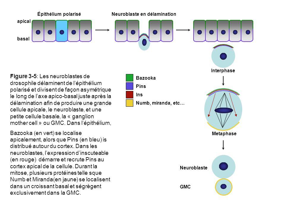 Bazooka Pins Ins Numb, miranda, etc… Épithélium polariséNeuroblaste en délamination Interphase Metaphase Neuroblaste GMC apical basal Figure 3-5: Les neuroblastes de drosophile délaminent de lépithélium polarisé et divisent de façon asymétrique le long de laxe apico-basal juste après la délamination afin de produire une grande cellule apicale, le neuroblaste, et une petite cellule basale, la « ganglion mother cell » ou GMC.